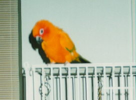 Nacho, the Sun Conure