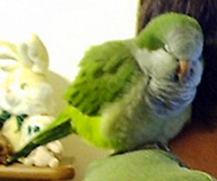 A Quaker Parrot Named Ronnie & His Friends.  CLICK HERE!